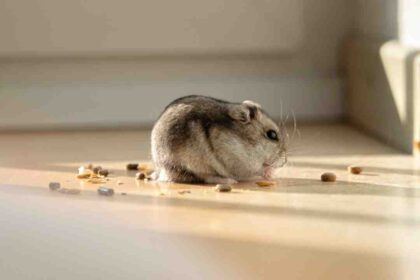 Comment relaxer un hamster ?